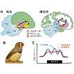 【神経科学トピックス】発火頻度より発火パターン:鳴鳥をモデルシステ ムとした大脳基底核機能の解析