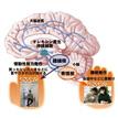 【神経科学トピックス】オレキシン産生神経細胞は二つの異なる神経経路でナルコレプシーを抑制する
