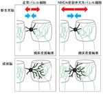【神経科学トピックス】新生児の大脳皮質で神経回路が成長する様子を観察