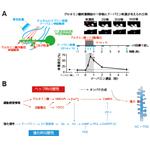 【神経科学トピックス】ドーパミン報酬作用の基盤となるスパイン形態可塑性の時間特性