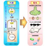 【神経科学トピックス】「代謝経路」を狙い、てんかん電気活動を抑え込む