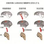 【神経科学トピックス】側坐核から運動野への機能的結合が脊髄損傷からの機能回復に貢献する