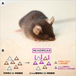 【神経科学トピックス】睡眠時における大脳新皮質の情報の流れが記憶を固定化する