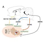 【神経科学トピックス】延髄C1ニューロンを介する抗炎症作用:急性腎不全を例に