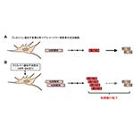 【神経科学トピックス】クリスパー遺伝子活性化によるアルツハイマー病細胞モデルの作製