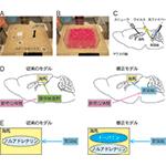 【神経科学トピックス】新奇な体験によって日常の記憶の保持が強化するメカニズム