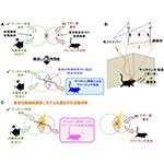 【神経科学トピックス】個々の記憶同士をつなぐ神経細胞集団のメカニズム