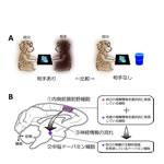 【神経科学トピックス】他者の報酬が気になる神経機構 -主観的報酬価値判断を生み出す回路-