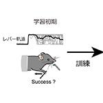 【神経科学トピックス】運動学習を通して現れる視床から運動野へのシグナルの解明