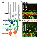 【神経科学トピックス】視覚機能をささえる神経伝達場の構築・維持機構の発見
