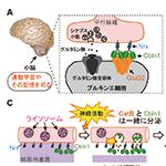 【神経科学トピックス】脳内神経回路再編をもたらすシナプス形成因子の新しい分泌様式を解明-神経活動に応じたシナプスの「スクラップ&ビルド」-