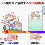 【神経科学トピックス】レム睡眠中の記憶忘却を誘導する視床下部MCH神経