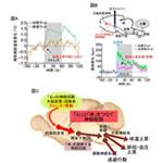 【神経科学トピックス】心と身体をつなぐ脳の神経回路メカニズム